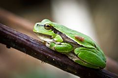 Small green frog on a twig Stock Photo
