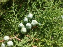 Green fruits Stock Image