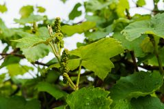 Small green grape ovaries in the garden after the rain.  stock photos