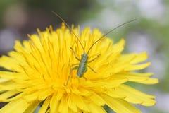Small green grasshopper back in dandelion, macro Royalty Free Stock Photo