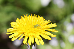 Small green grasshopper eyes in dandelion, macro Stock Images