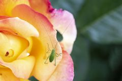 Green grasshopper insect sitting on rose petal. Small green grasshopper sitting on a yellow and red rose petal stock photography