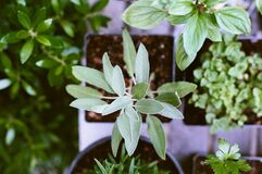 Small Green Herbs in Pots Stock Photo