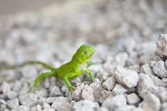 Small green iguana close up Royalty Free Stock Images