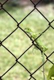 Small Green Iguana Stock Photography