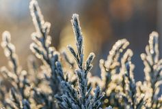 A small green juniper tree with white snow and frost and bokeh lights for Christmas and New year decorations in a winter garden. A small green juniper tree with royalty free stock image