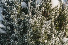 A small green juniper tree with white snow and frost is for Christmas and New year decorations in winter. A small green juniper tree with white snow and frost is royalty free stock images