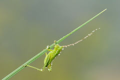 Small green katydid Stock Images