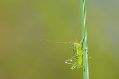 Small green katydid Royalty Free Stock Images