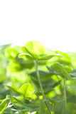 Small green leaf  growing Stock Image