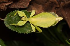 A leaf insect on a green leaf royalty free stock image