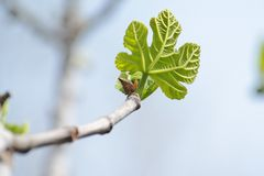 Small green leaf of Platanus acerifolia (plane tre Stock Image