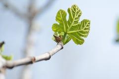 Small green leaf of Platanus acerifolia (plane tre stock image