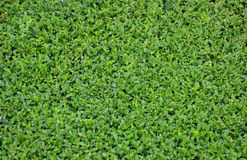 Small green leaf texture. Pattern Royalty Free Stock Photos