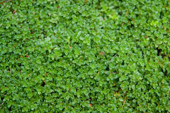 Small green leafs Royalty Free Stock Photos