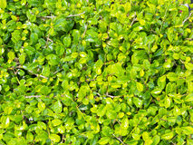 Small green leaves background Stock Photography
