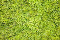 Small green leaves background. Small green leaves like flowers forming a beautiful background Stock Photo