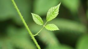 Small green leaves of blackberry bush. Three small green leaves of blackberry bush stock video footage