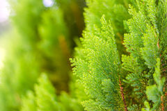 Small green leaves Chinese Arborvitae or Oriental Arborvitae Stock Images