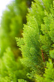 Small green leaves Chinese Arborvitae or Oriental Arborvitae Royalty Free Stock Photos