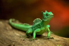 Small green lizard. A small green lizard on a log Royalty Free Stock Images