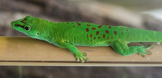 Small green lizard on a bamboo Stock Image