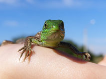 Small green lizard on the hand Stock Photo