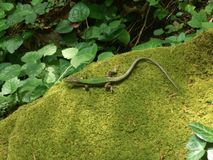 A small green lizard lies on a mossy stone, shiny zigzag torso, spread legs. sunbeams on the leaves of vines, lizard on the shadow. Side. the boulder is stock images
