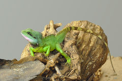 Small green lizard on log Stock Photos