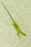Small green lizard Stock Images