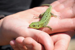 Small green lizard Royalty Free Stock Photography