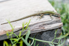 Small green lizard on a park bench Royalty Free Stock Photo