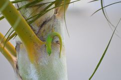 A small green gecko lizard sitting on a palm tree ! stock photography
