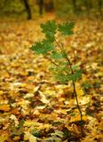 A small green maple. Royalty Free Stock Image