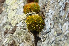 Small green moss hedgehogs. Several spherical green moss bushes growing out of the crevices in rock Stock Photos