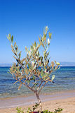 Small green olive tree near the beach Royalty Free Stock Image