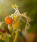 Small green and orange tomatoes cherry on a branch Royalty Free Stock Images