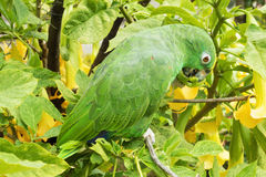 Small green parakeet on a branch in a garden. Royalty Free Stock Photo