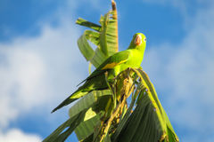Small green parrot on banana tree branch Royalty Free Stock Photo