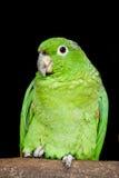 Small Green Parrot Royalty Free Stock Photos