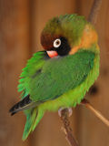 Small green parrot - Lovebird, Agapornis. On brown background Royalty Free Stock Photo