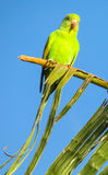 Small green parrot on the palm stock photo