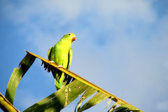 Small green parrot on a palm tree branch royalty free stock photography