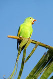 Small green parrot on a palm tree branch stock photography