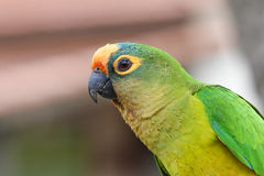 Small green parrot. Side view of a small green parrot Royalty Free Stock Photo
