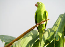 Small green parrot Royalty Free Stock Photos