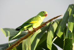 Small green parrot on a tree branch Royalty Free Stock Image