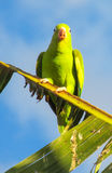 Small green parrot. In tropics on a tree Royalty Free Stock Images