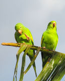 Small green parrots stock image
