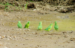 Small green parrots on the ground stock images
